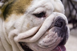 Bulldog Face