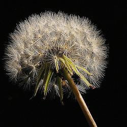 Dandelion Network